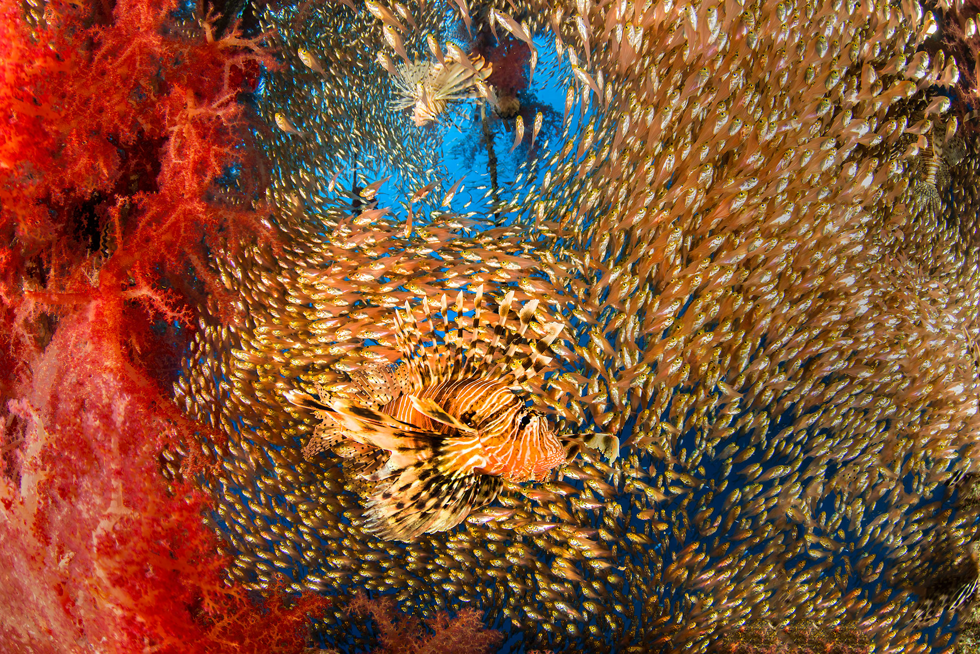 Lion Fish in school of Glass Fish at the Satil Wreck