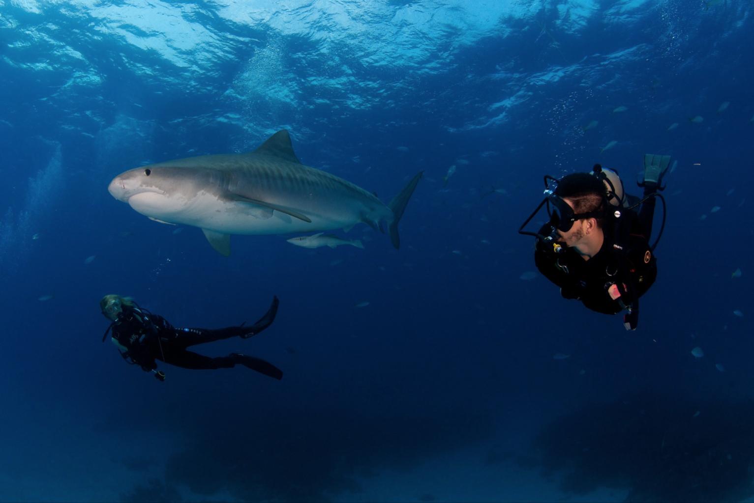 Tiger Sharks, Bahamas