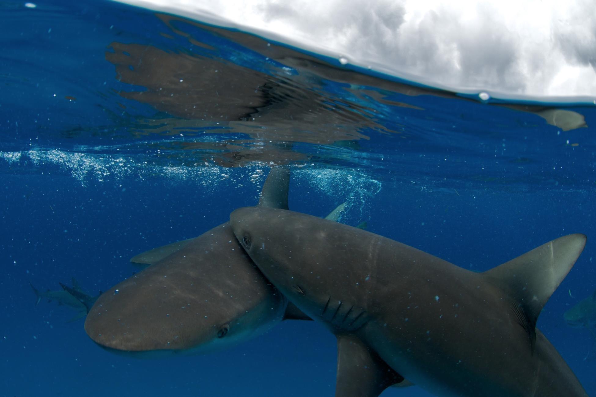 Caribbean reef Sharks, Bahamas