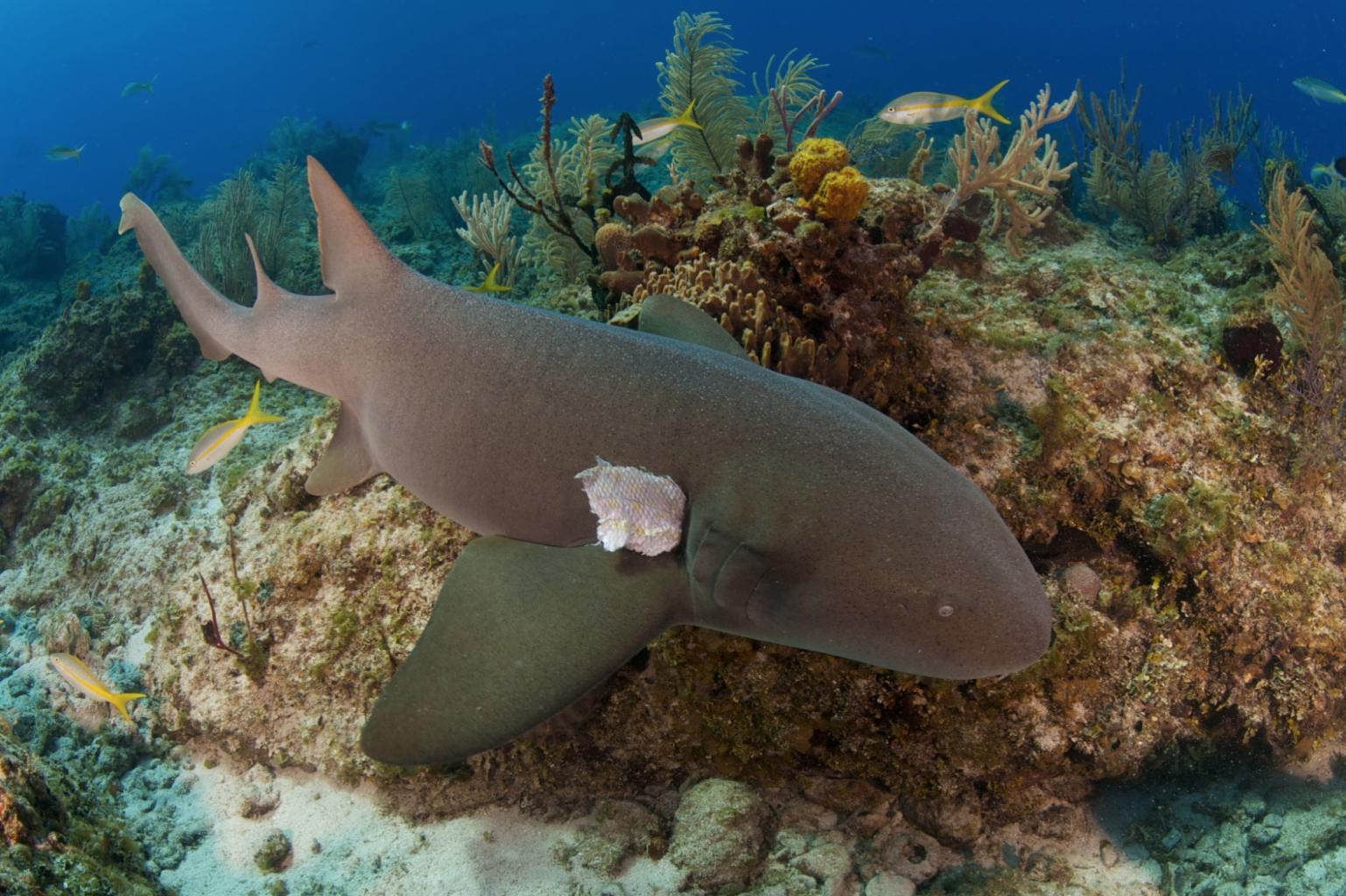 Nurse Sharks, Bahamas