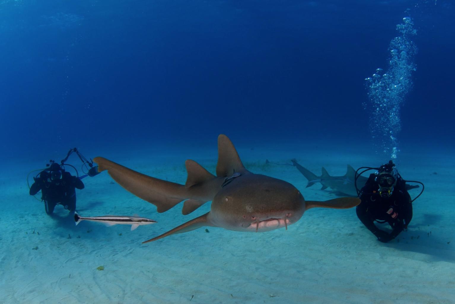 Nurse Sharks, Bahamas