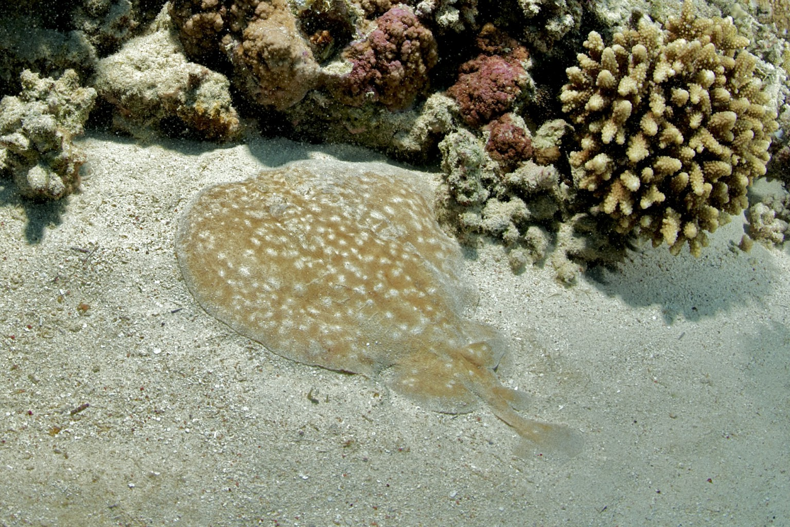 Electric Ray, southern Red Sea, Egypt
