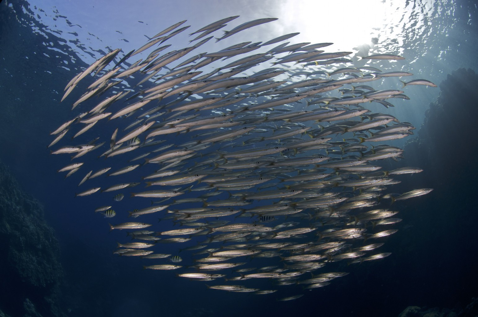 School of Baby Barracuda, Shaab Abu Dabab, southern Red Sea, Egypt