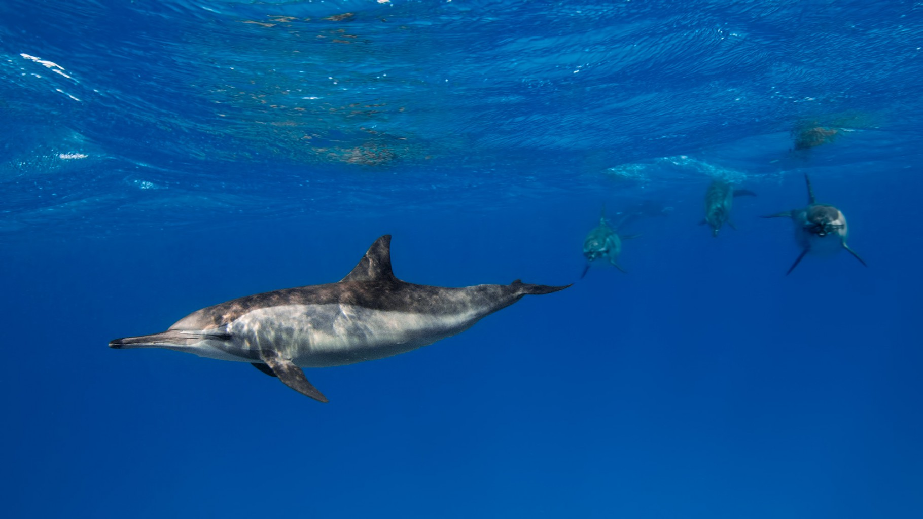 Dolphins, Sataya Reef, southern Red Sea, Egypt