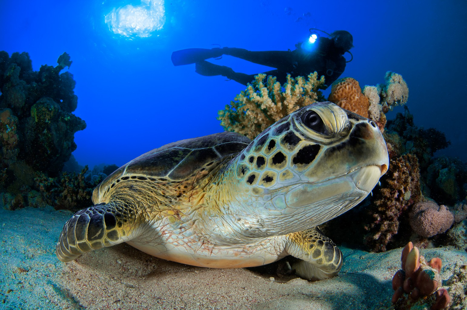 Sea Turtle feeding on Jellyfish, Red Sea - Egypt