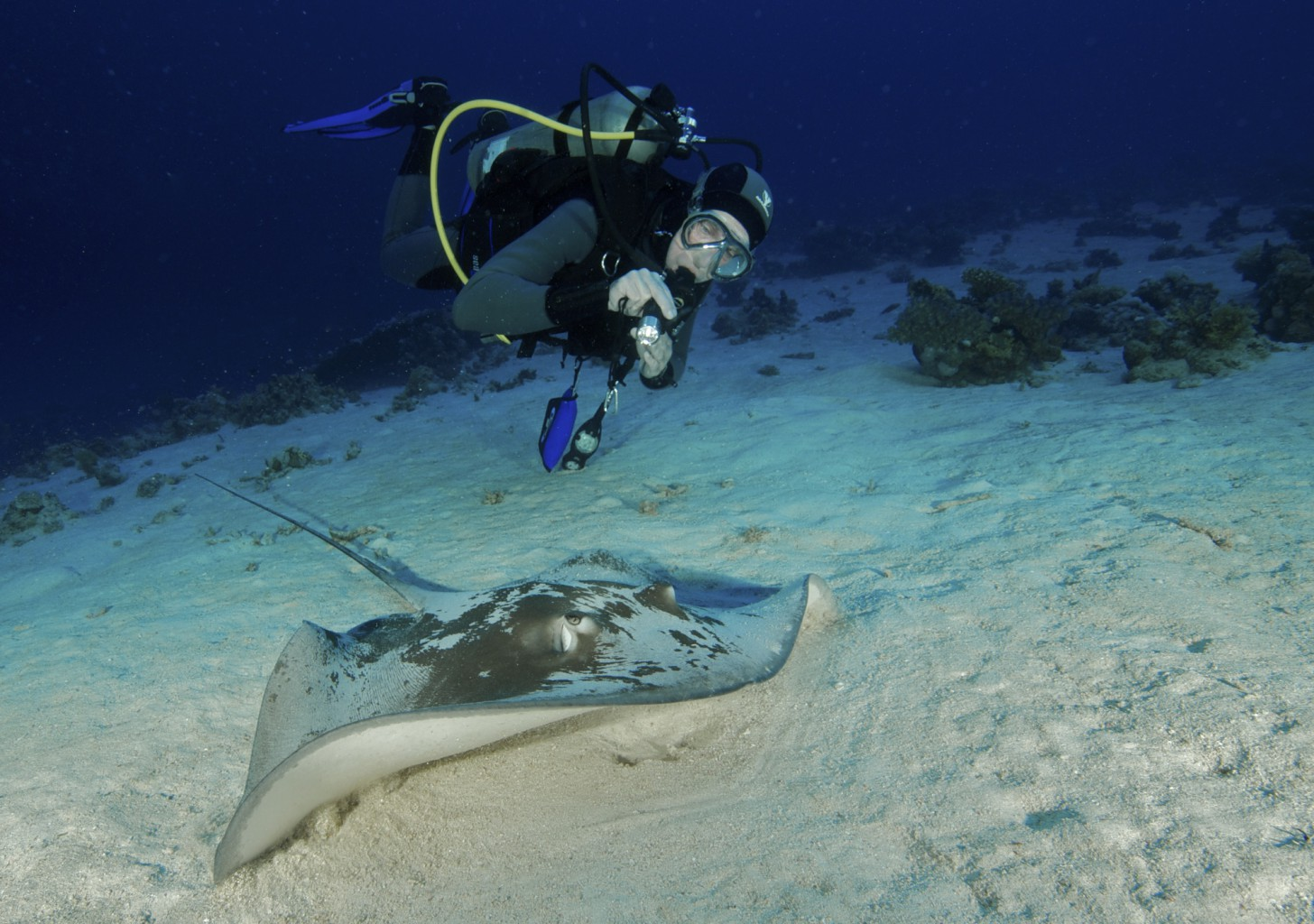Large Grey Sand Sting Ray, Red Sea, Egypt