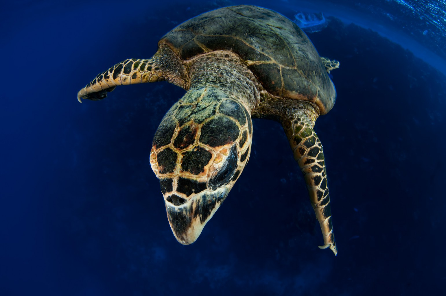 Sea Turtle feeding on Jellyfish, Red Sea - Egypt