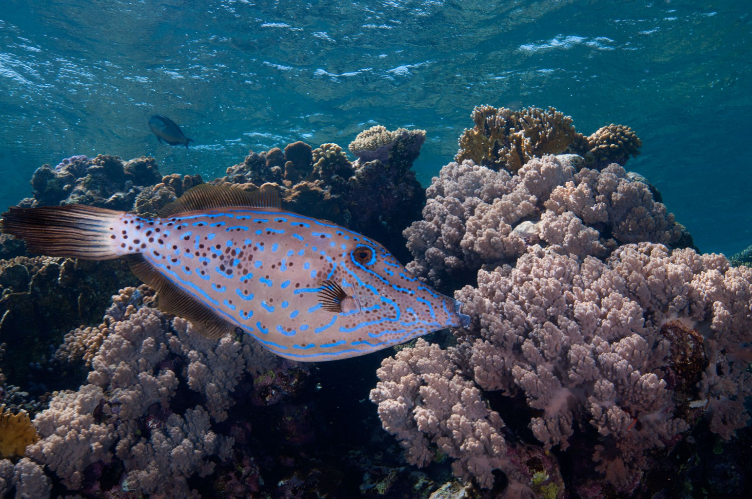 File Fish, southern Red Sea, Egypt