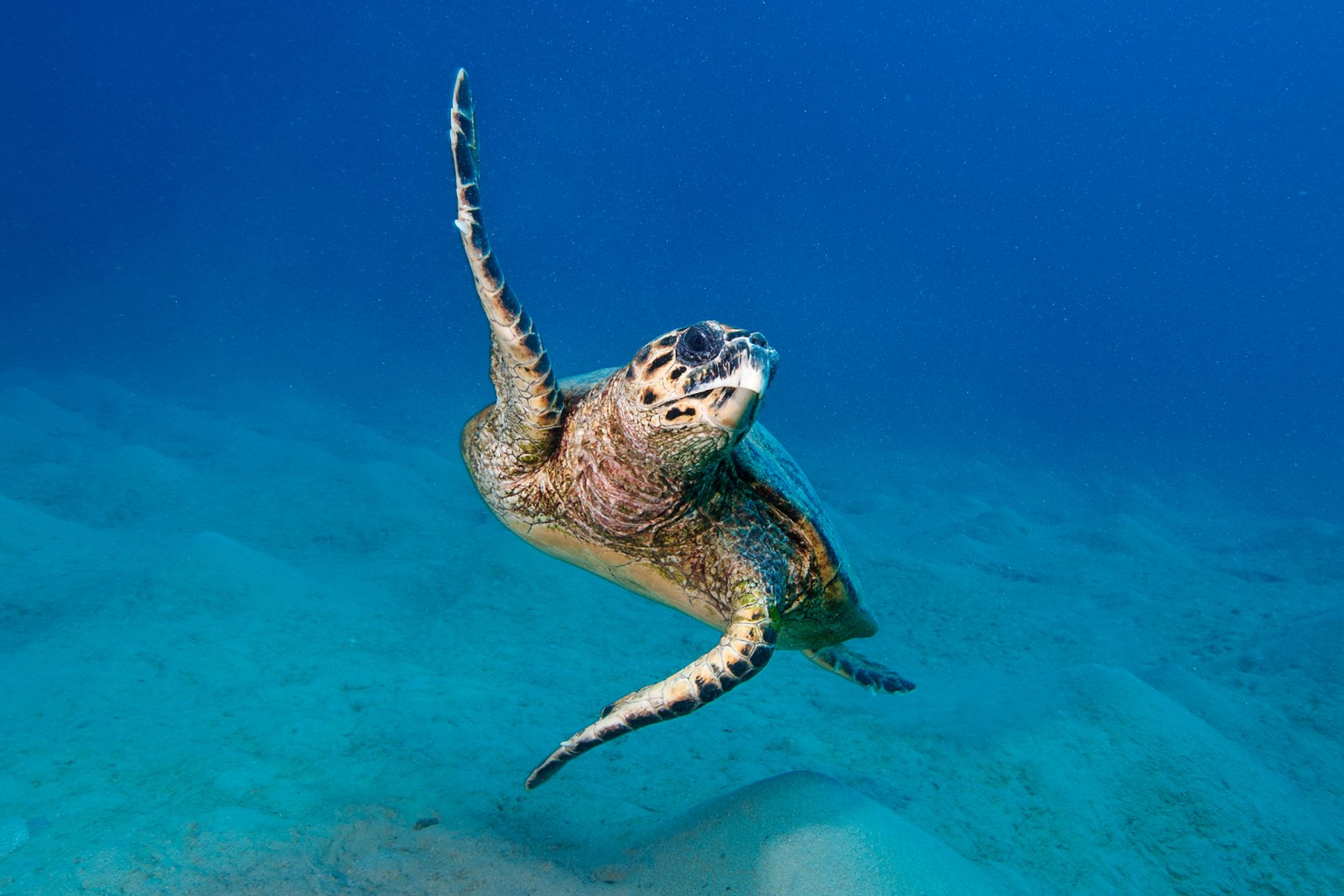 Sea Turtle , Red Sea - Egypt