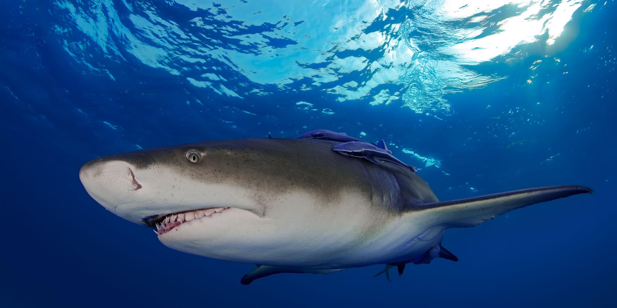 Lemon Sharks, Bahamas