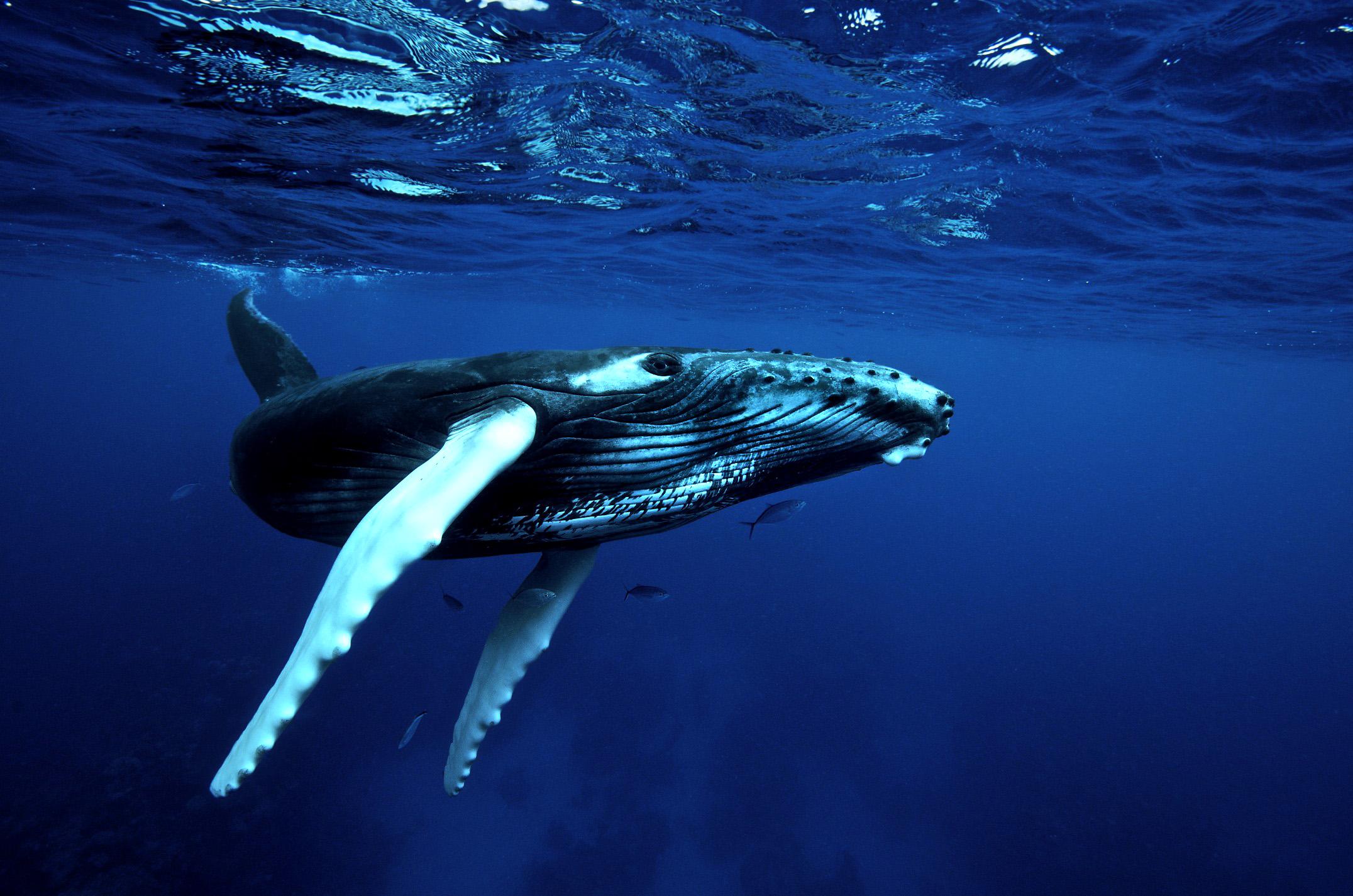 Baby Humpbackwhale Photo Id 1820 www.FotoDive.ch