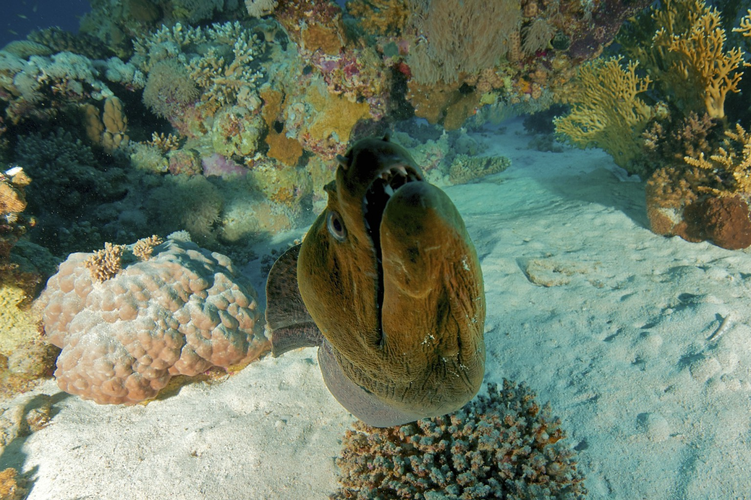 Morey Eel, Red Sea, Egypt