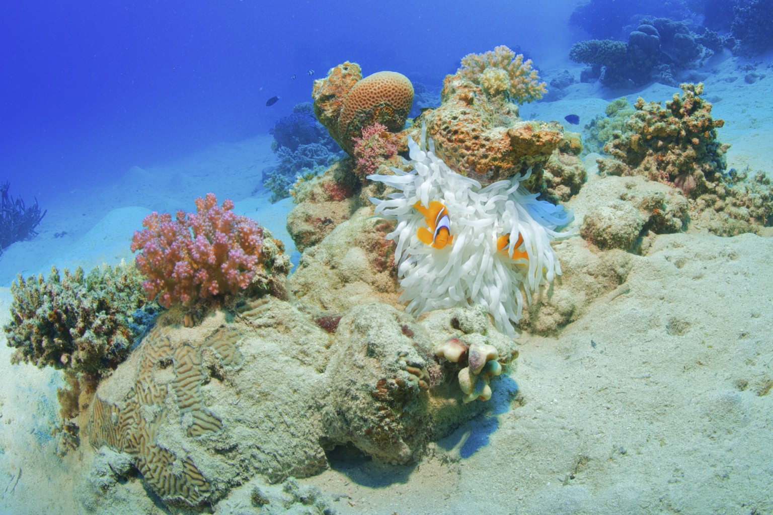 White Anemone with Clown Fish, southern Red Sea, Egypt