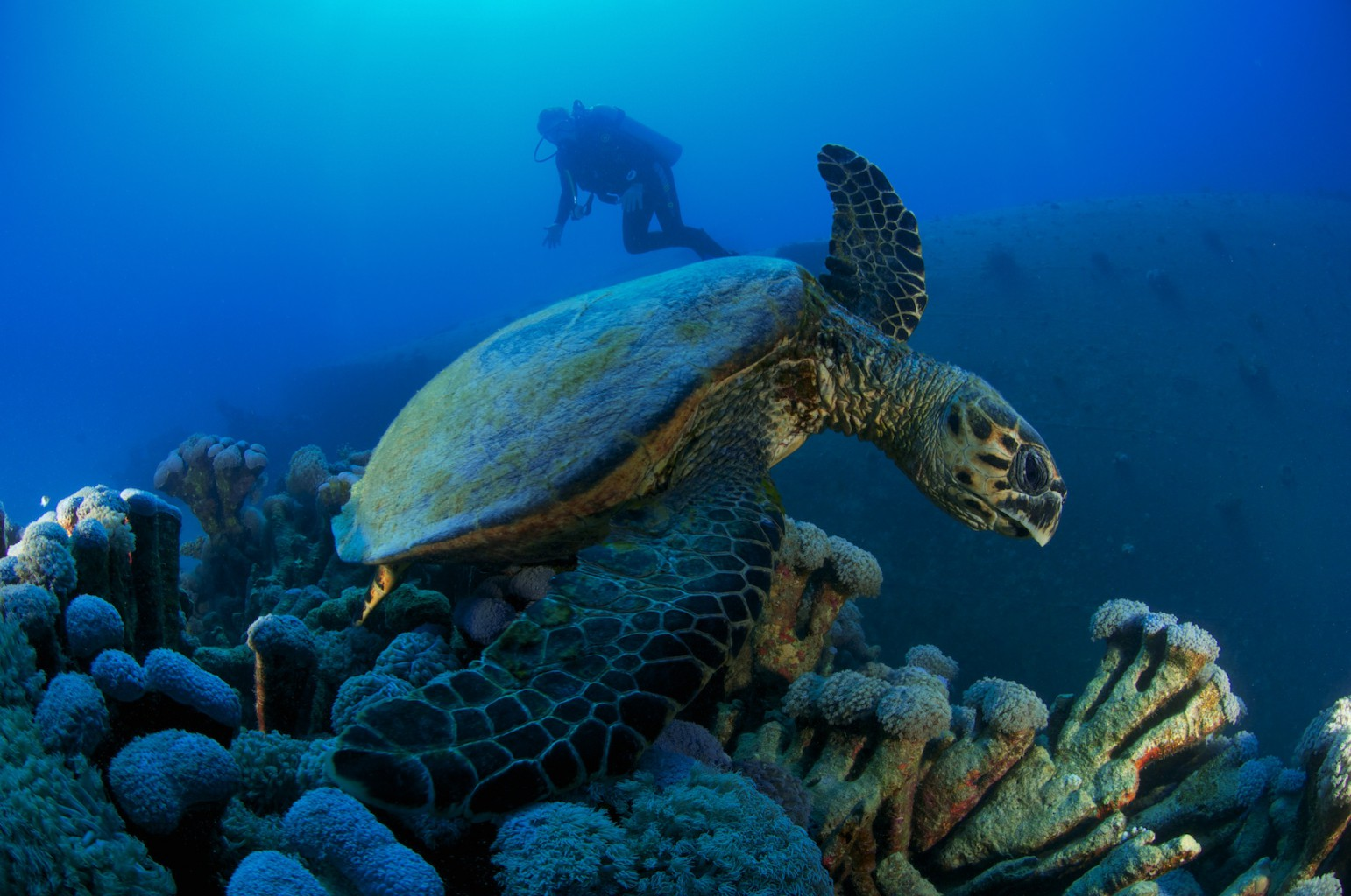 Sea Turtle, Abu Ghusun, southern Red Sea, Egypt