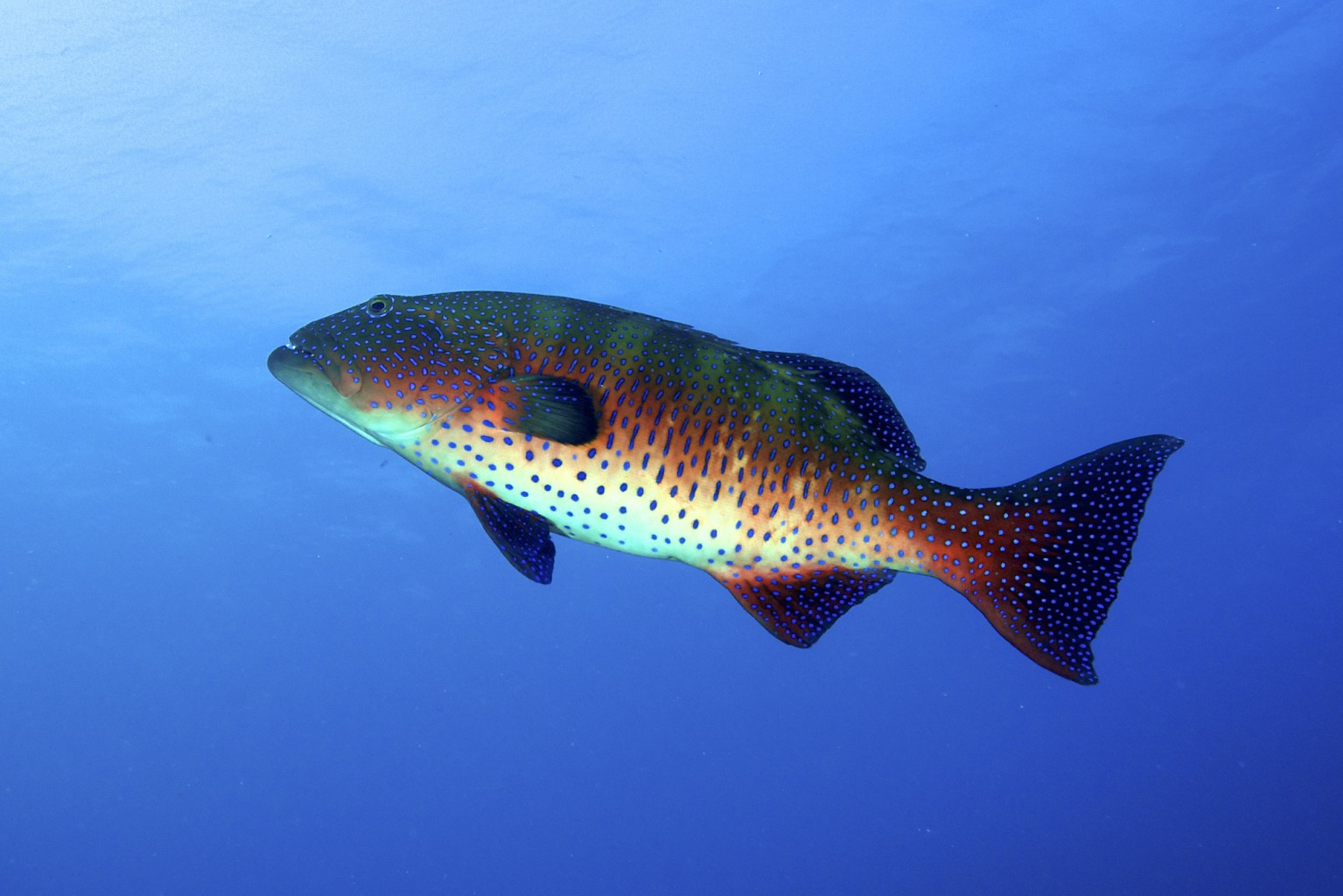 Large Trout Grouper, southern Red Sea, Egypt