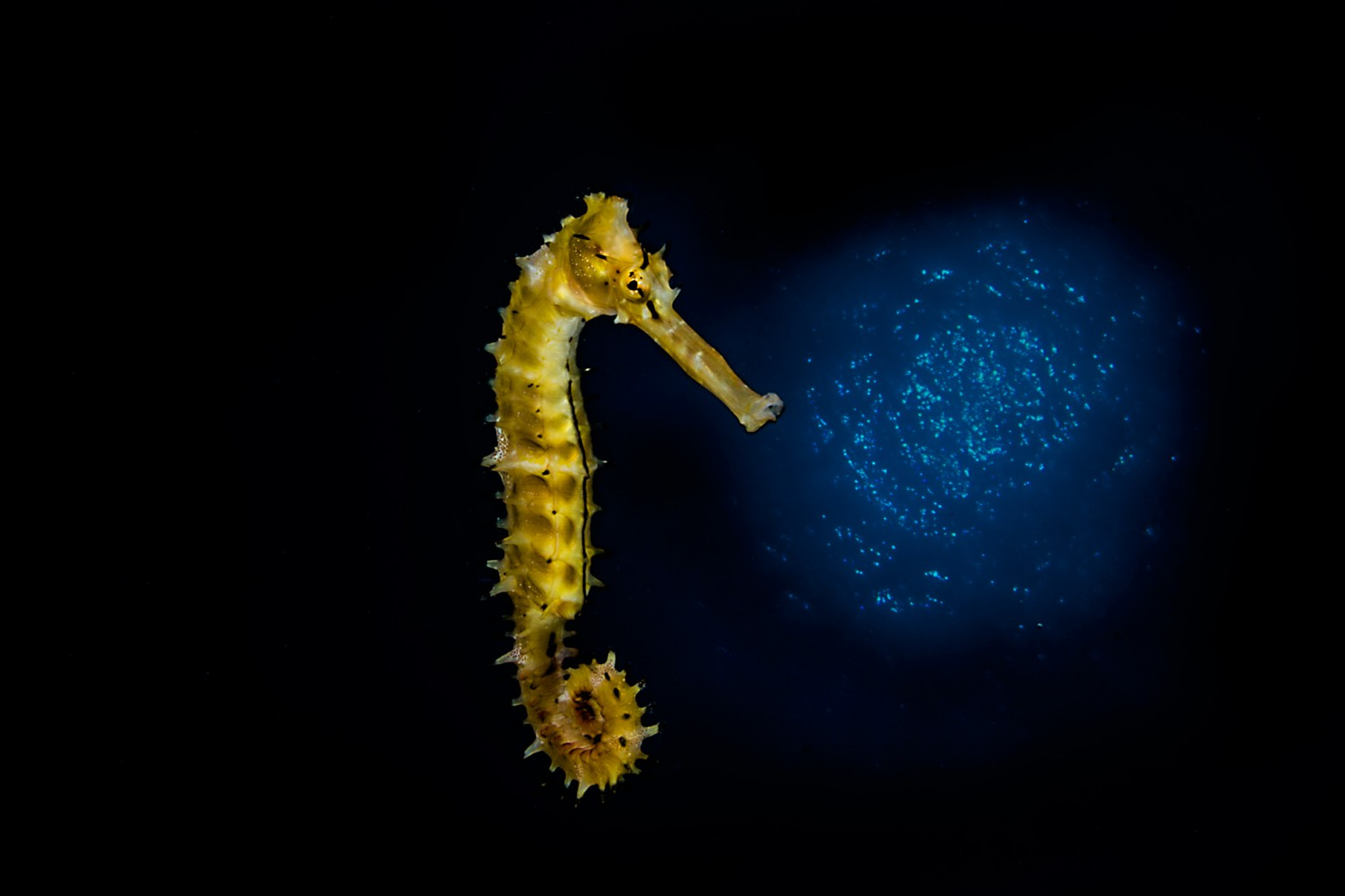 Sea Horse, Eilat -Red Sea, Israel