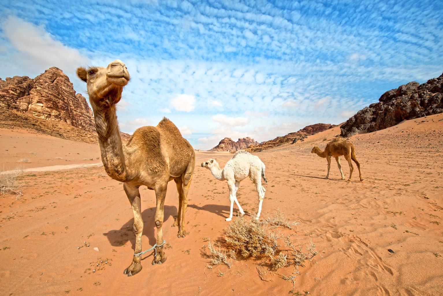 Wadi Rum Camels in the desert