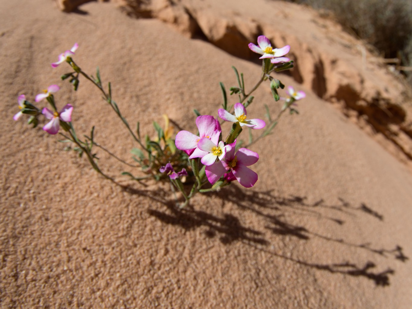 Wadi Rum Flower bloom in march