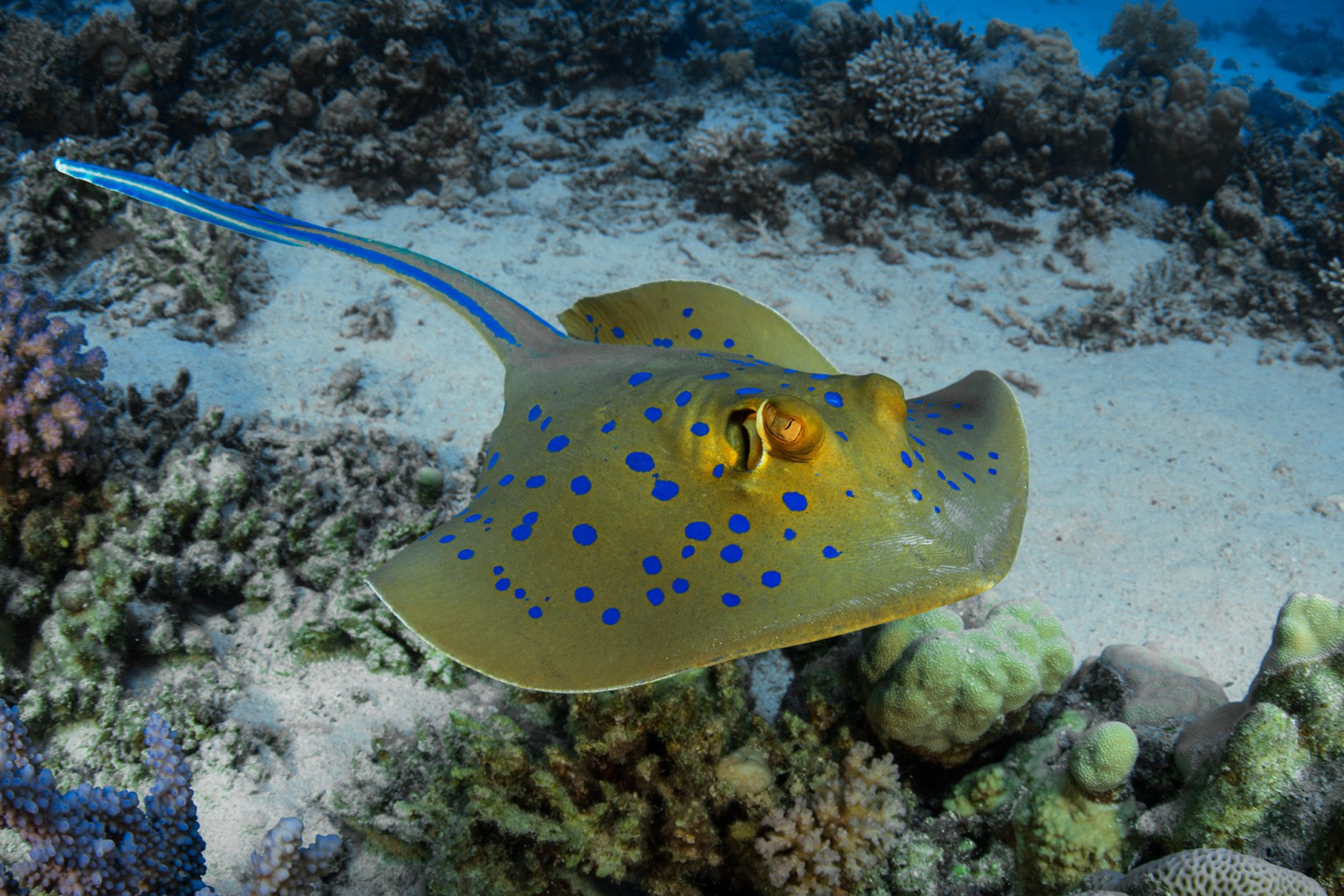 Blue Spotted Ray, southern Red Sea, Egypt
