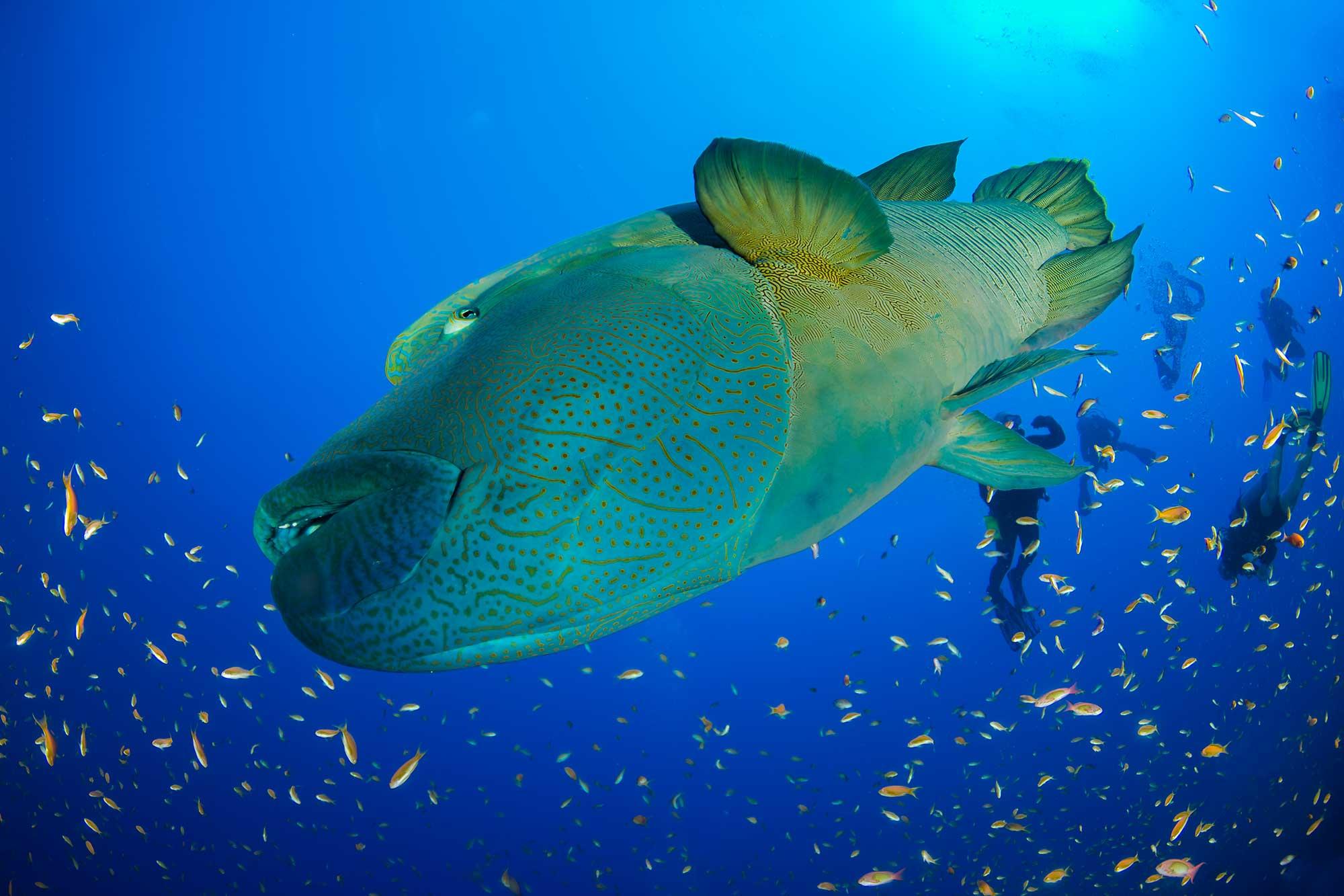 Napoleon Wrass, Elphinstone Reef, Red Sea, Egypt