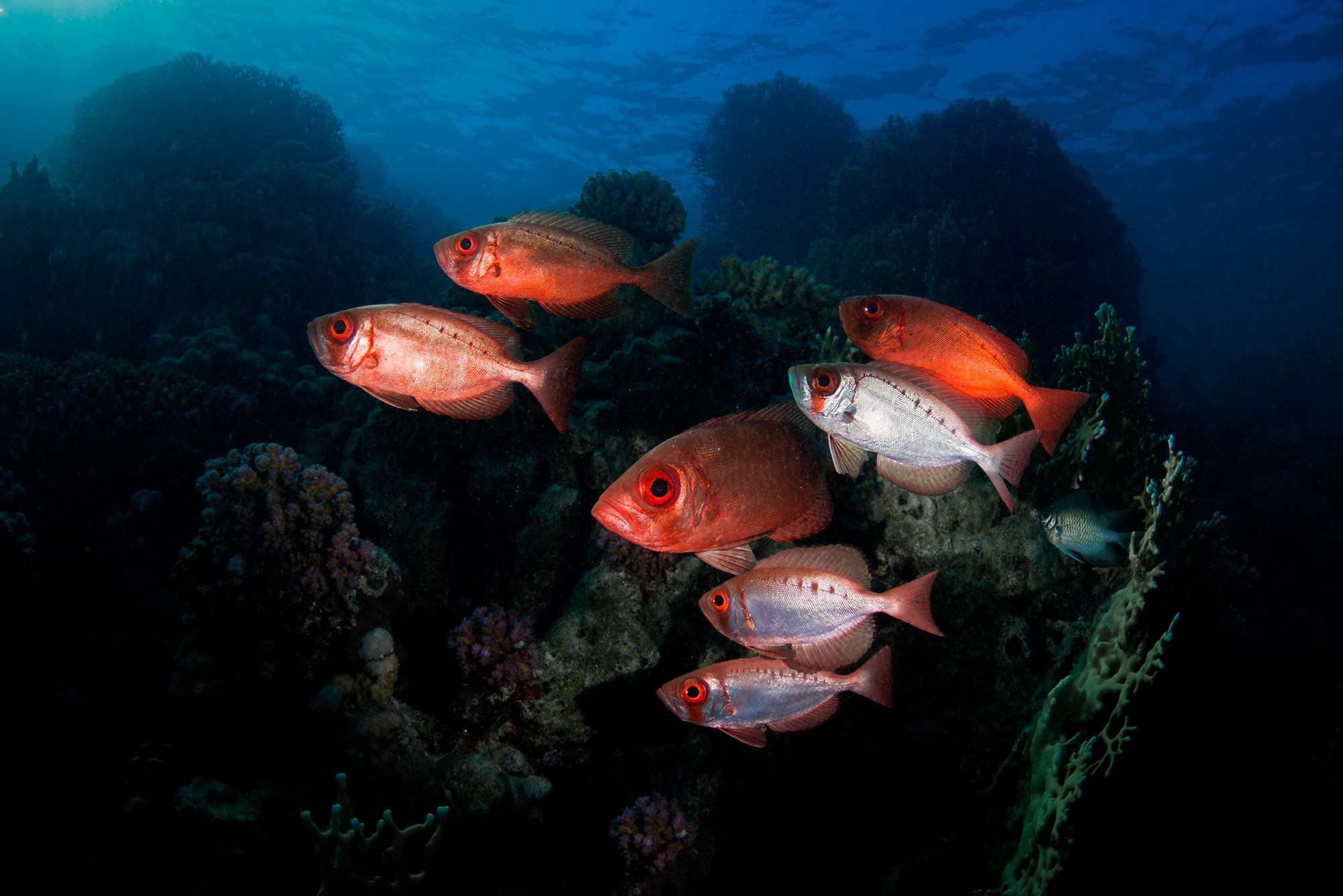 Soldier Fish, Elphinstone Reef, Red Sea, Egypt