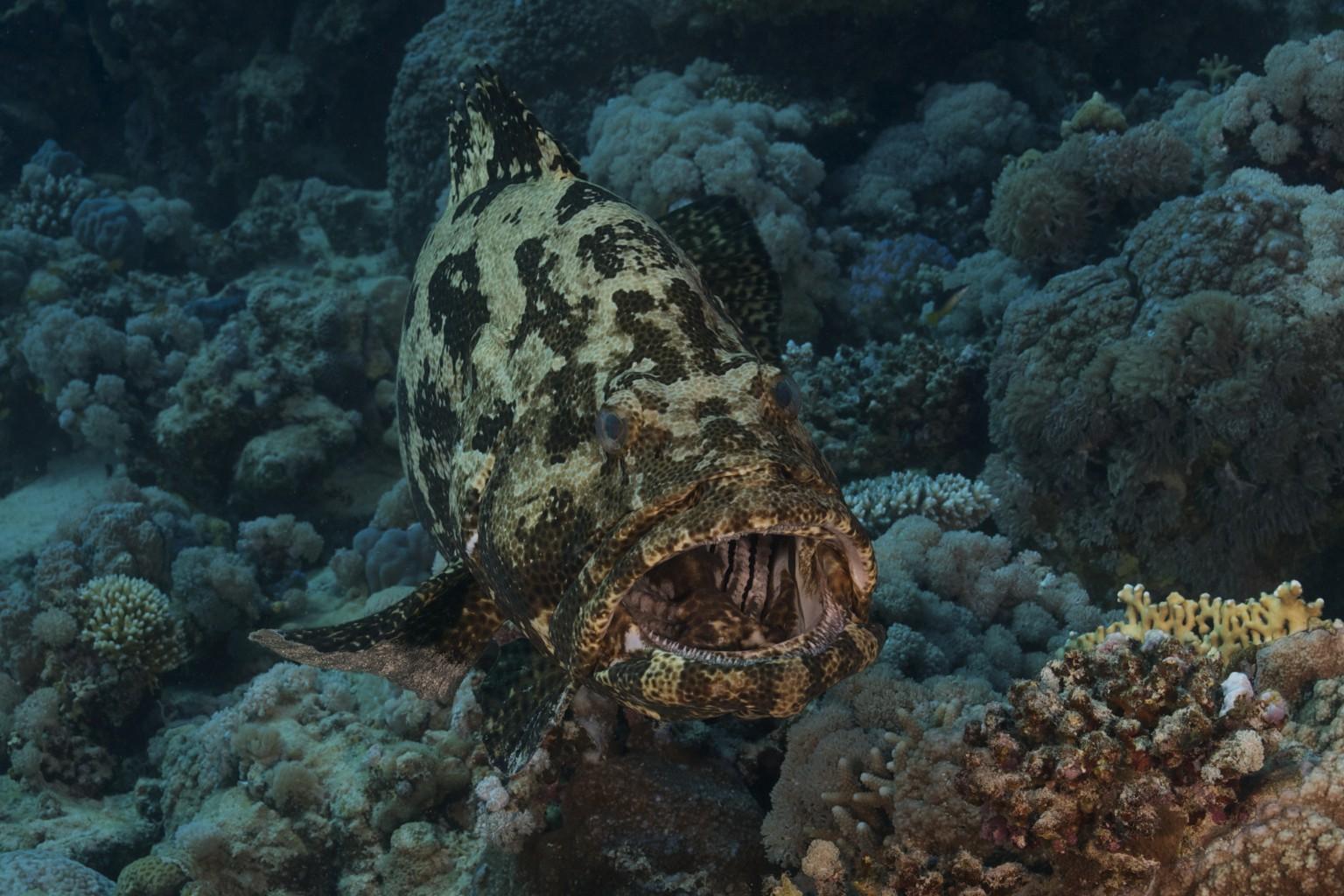 Potato Grouper, southern Red Sea Egypt