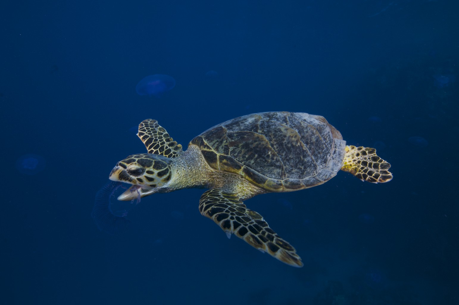 Sea Turtle, Red Sea - Egypt