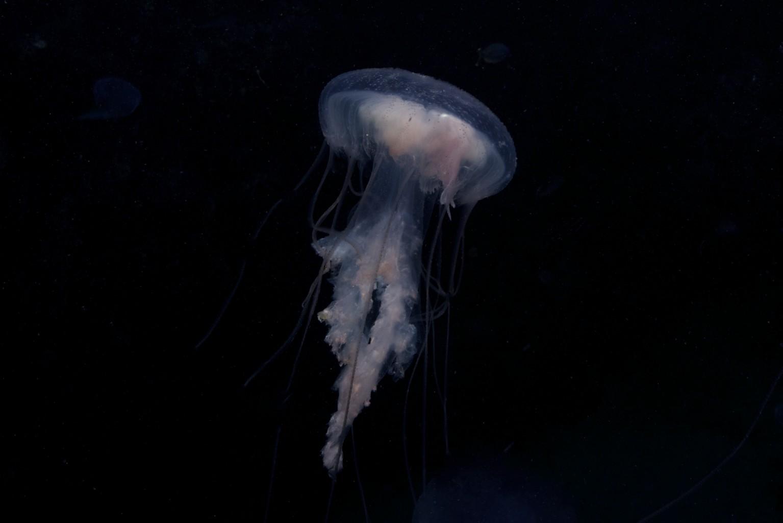 Photogenic Jellyfish invasion, Red Sea, Egypt