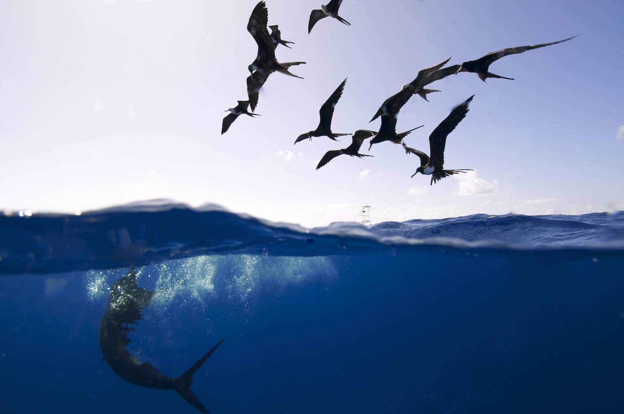 Sailfish, Isla Mujeres - Mexico