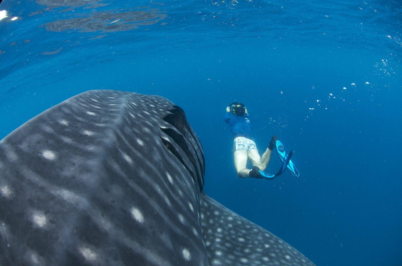 Whale Sharks, Isla Mujeres - Mexico