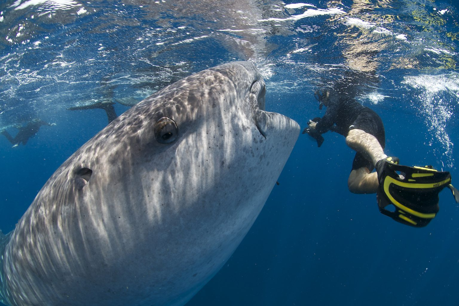 Whale Sharks, Isla Mujeres - Mexico