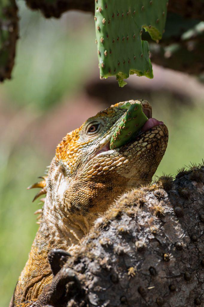 Galapagos Islands Iguana, Leguan