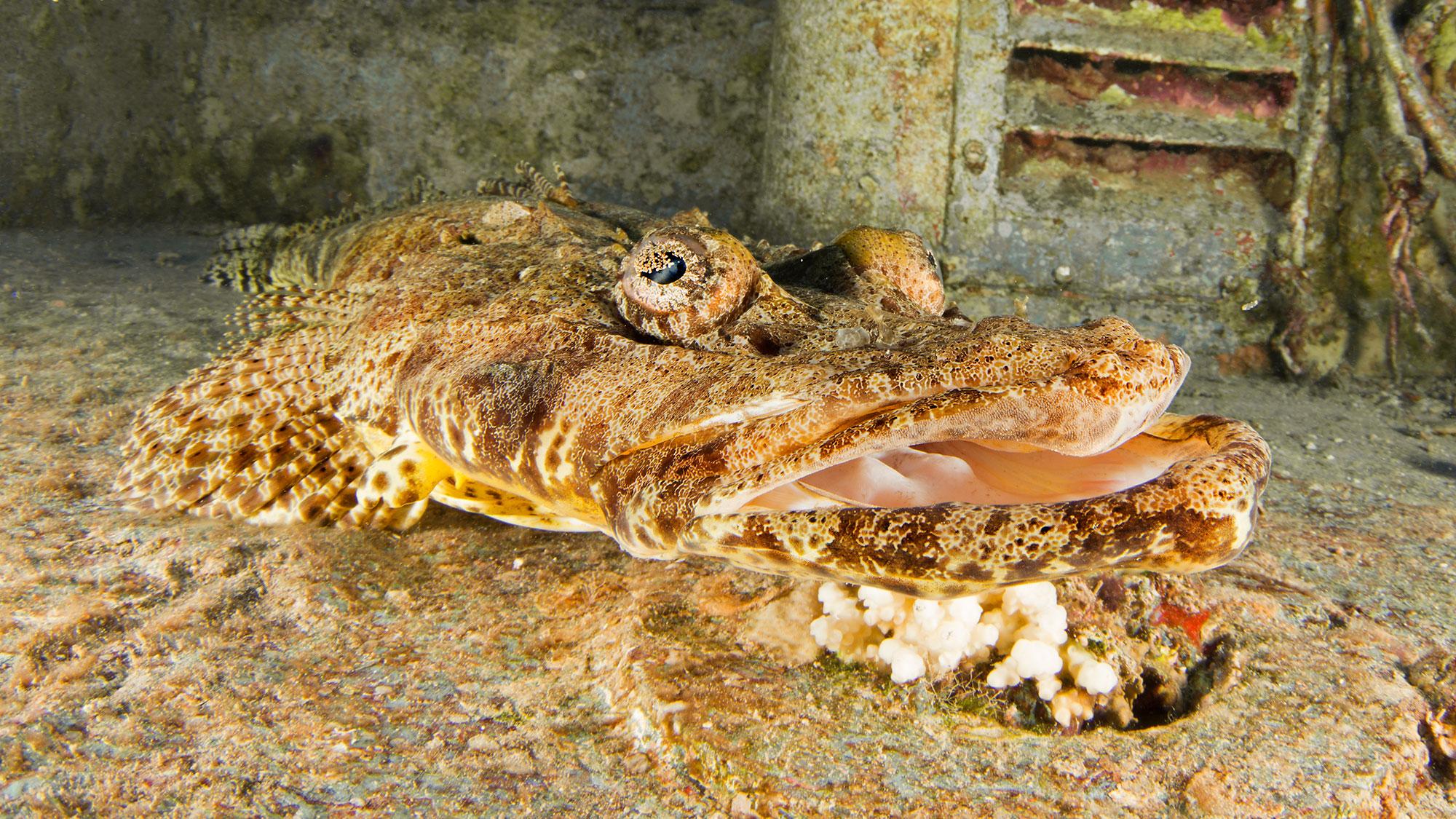Crocodile Fish, Eilat Red Sea, Israel