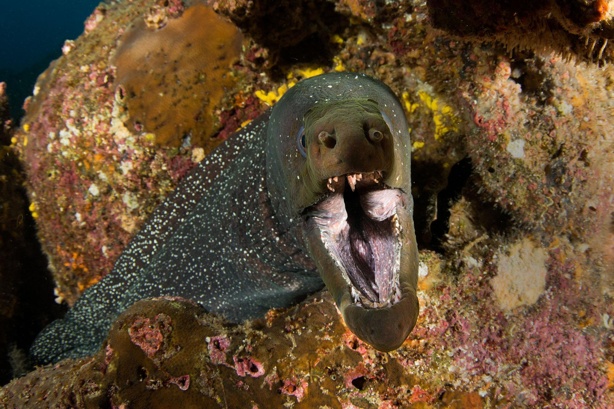 Galapagos More Eel, Moräne