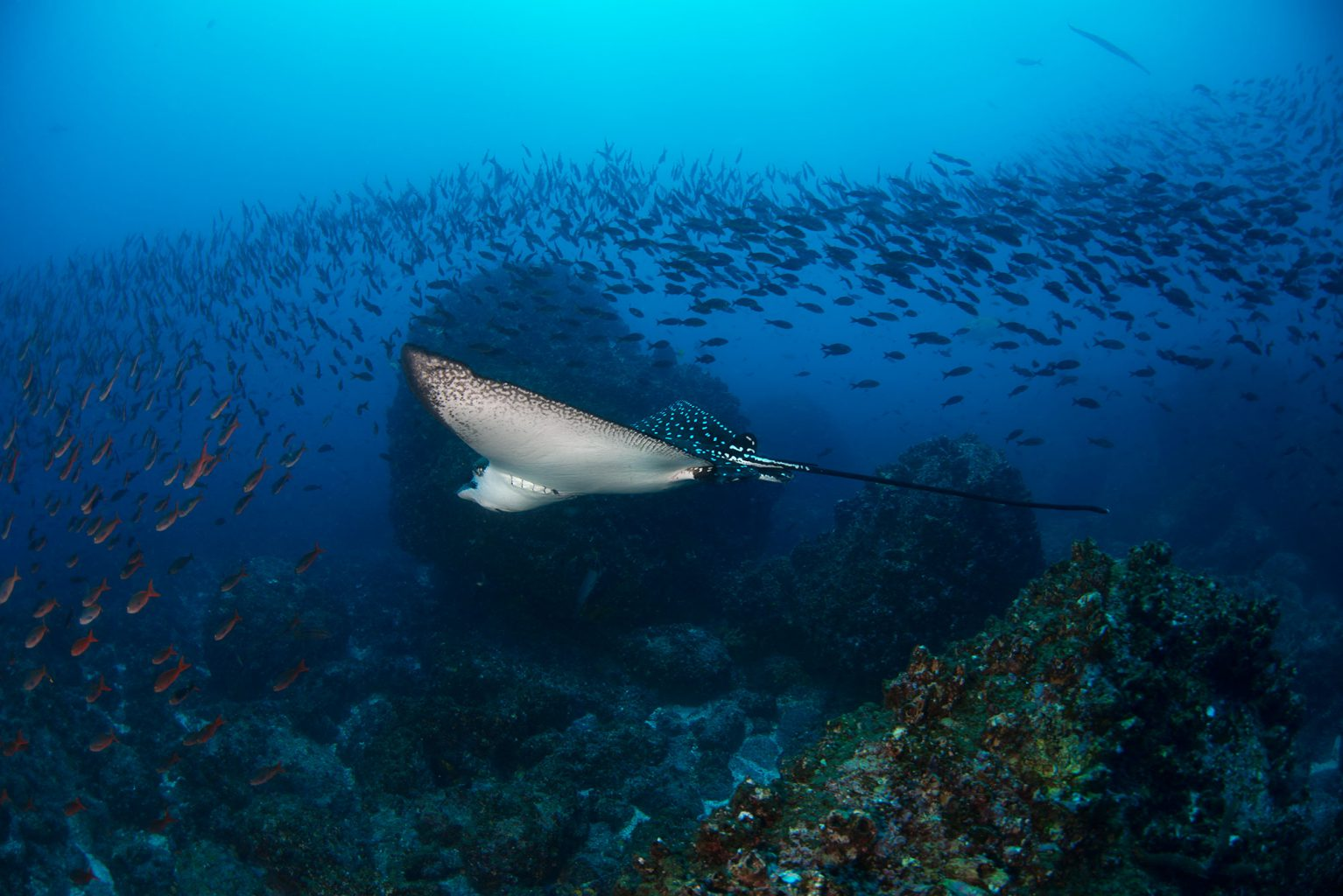Galapagos Eagle Ray, Adlerrochen