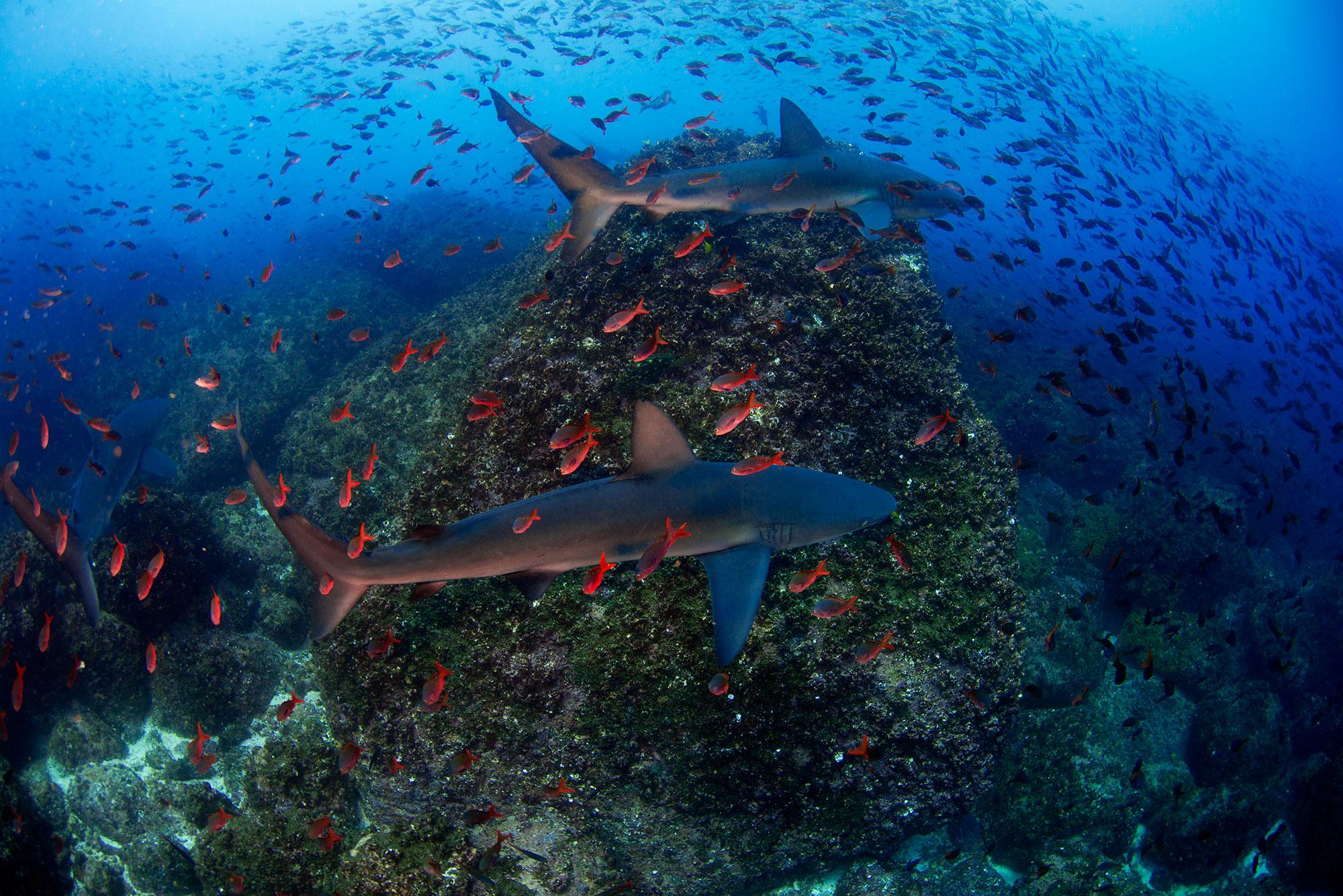 Galapagos Sharks, Haie