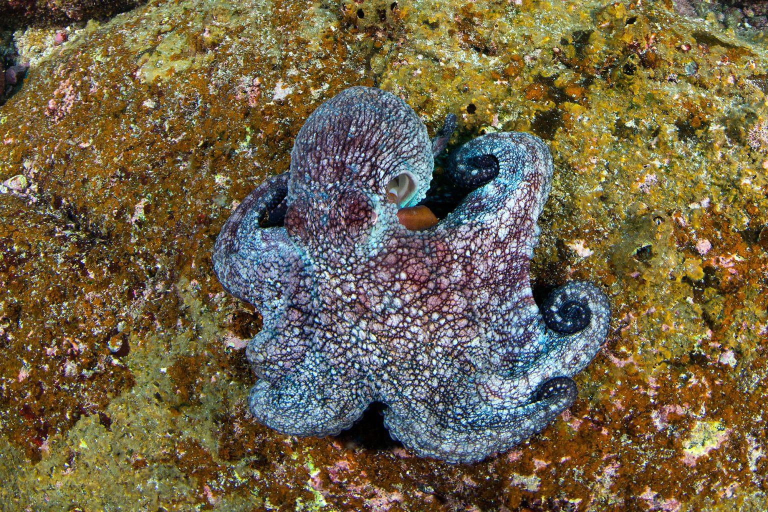 Galapagos Octopus, Oktopus