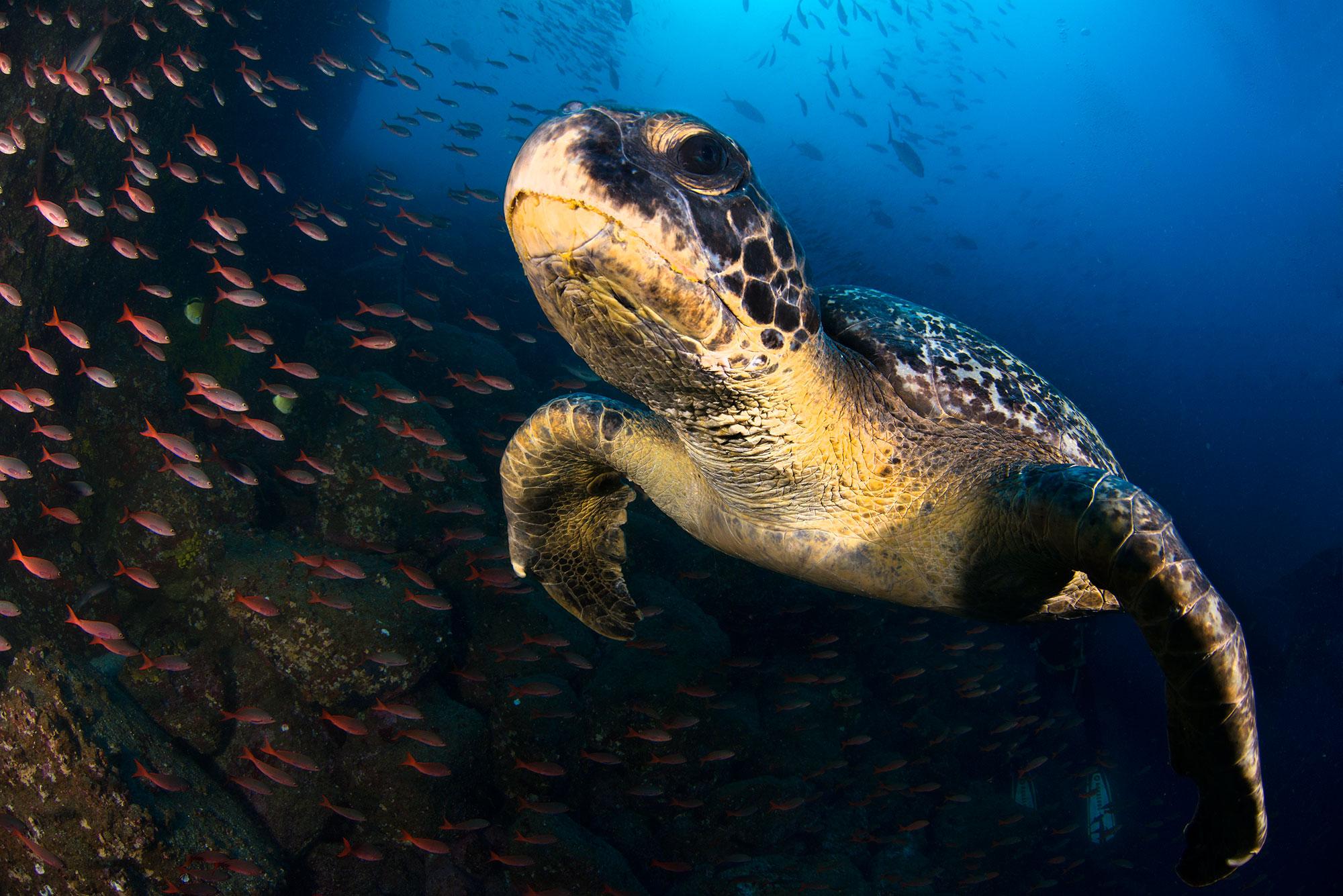 Galapagos Sea Turtle, Meeresschildkröte