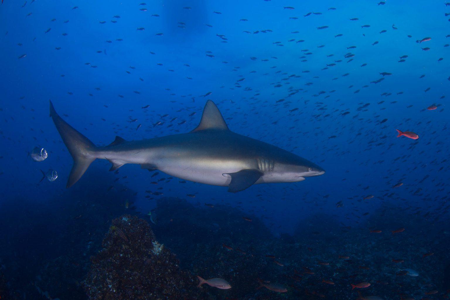 Galapagos Shark, Hai