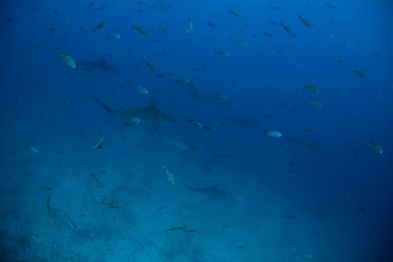 Galapagos Hammerhead Sharks, Hammerhaie