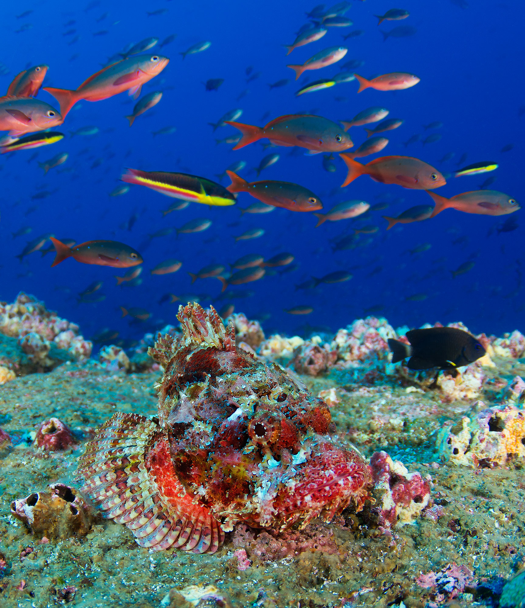 Galapagos Dragon Fish, Drachenkopf
