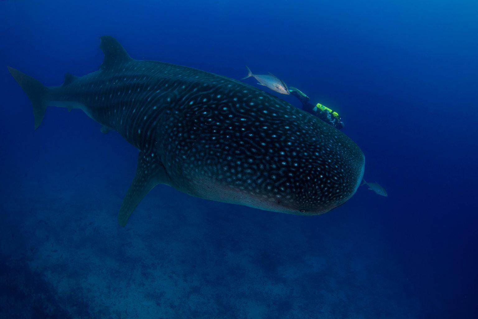 Galapagos Whaleshark, Walhai
