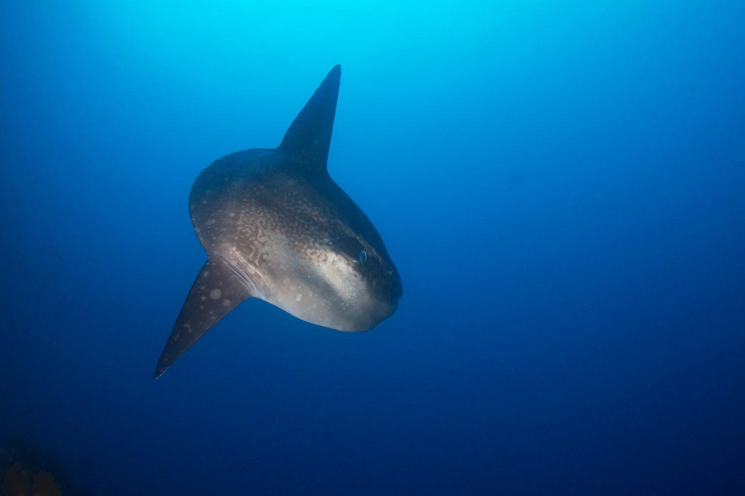 Galapagos Moonfish - Mola Mola, Mondfisch