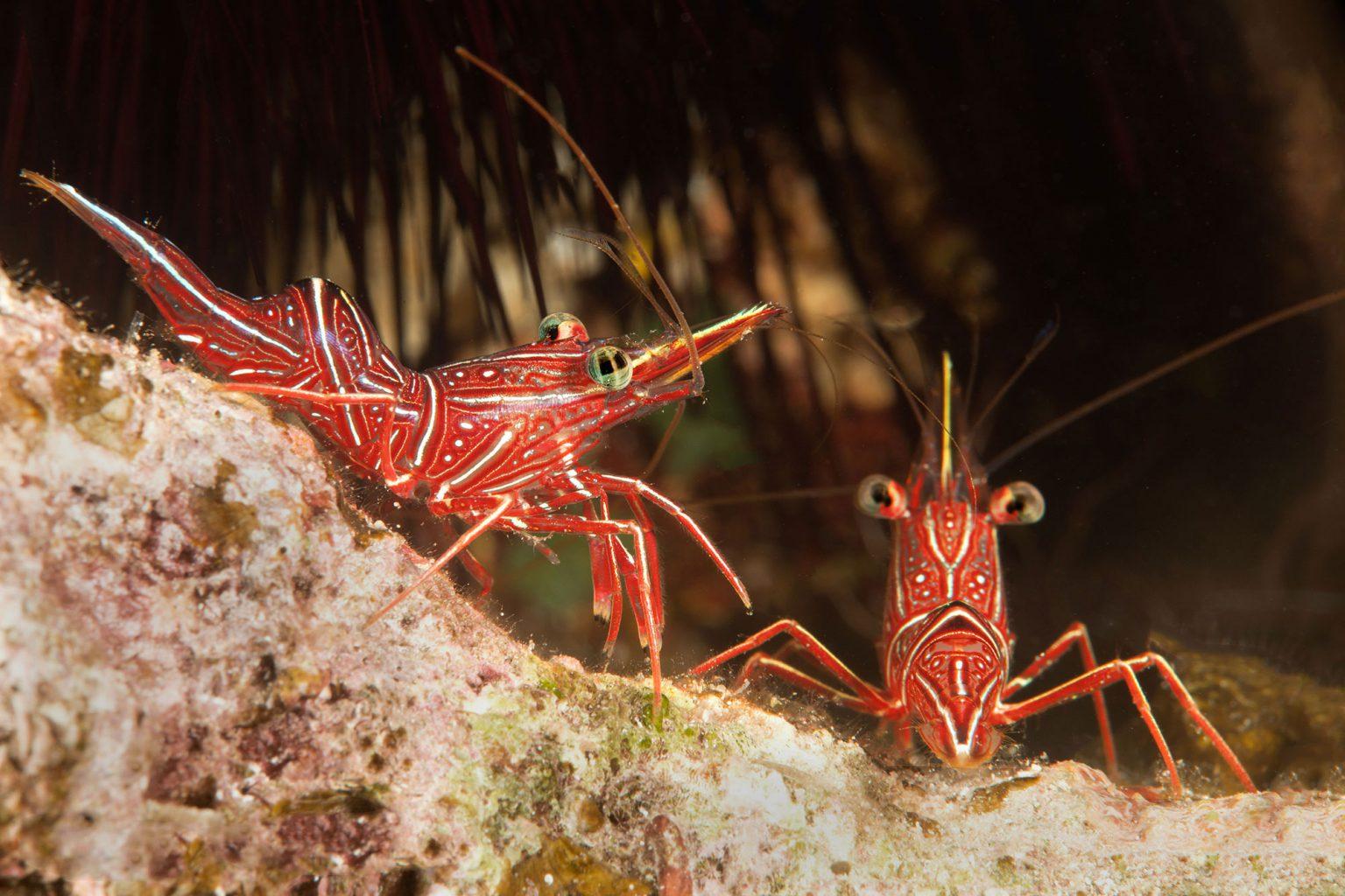 Red Shrimps, Eilat Red Sea, Israel