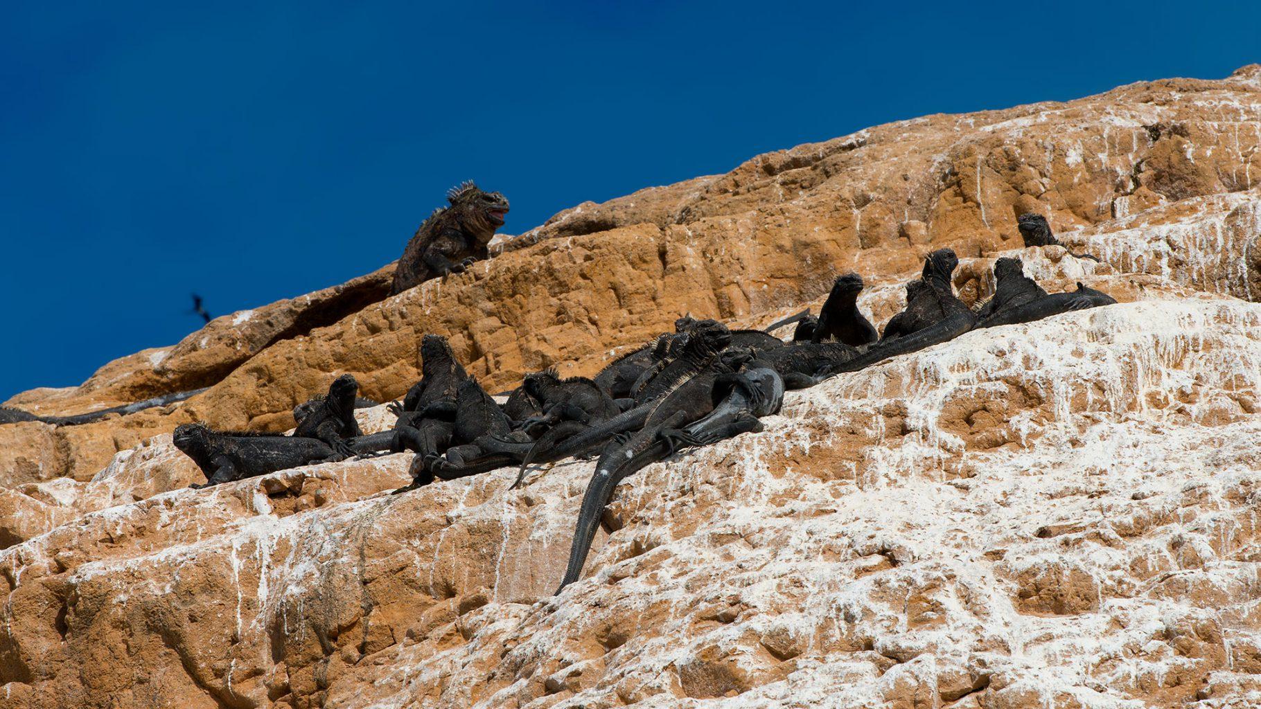 Galapagos Islands - Punta Vicente Roca Black Iguanas, Schwarze Leguane
