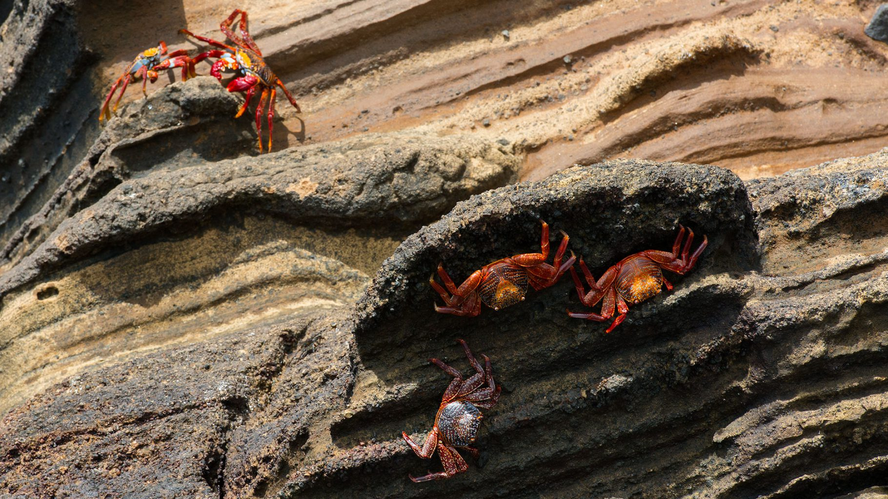 Galapagos Islands - Punta Vicente Roca Crabs, Krabben