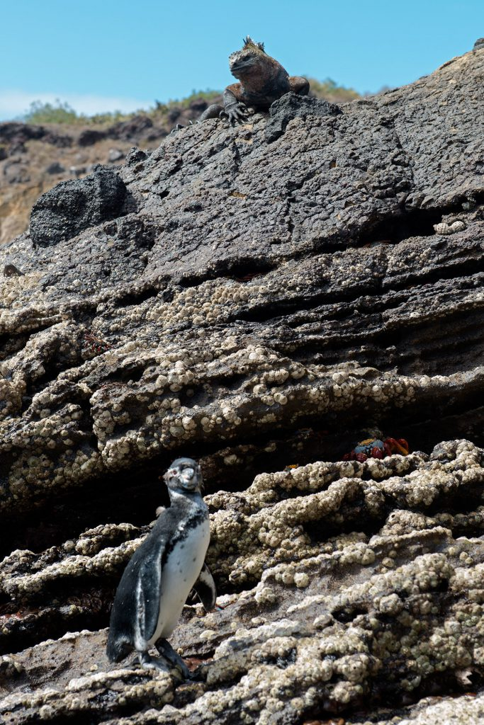 Galapagos Islands - Punta Vicente Roca, Iguana and Penguin, Leguan und Pinguin