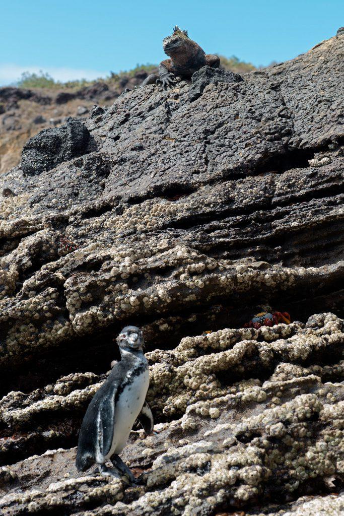 Galapagos Islands - Punta Vicente Roca, Iguana and Penguin, Leguan und Pinguin