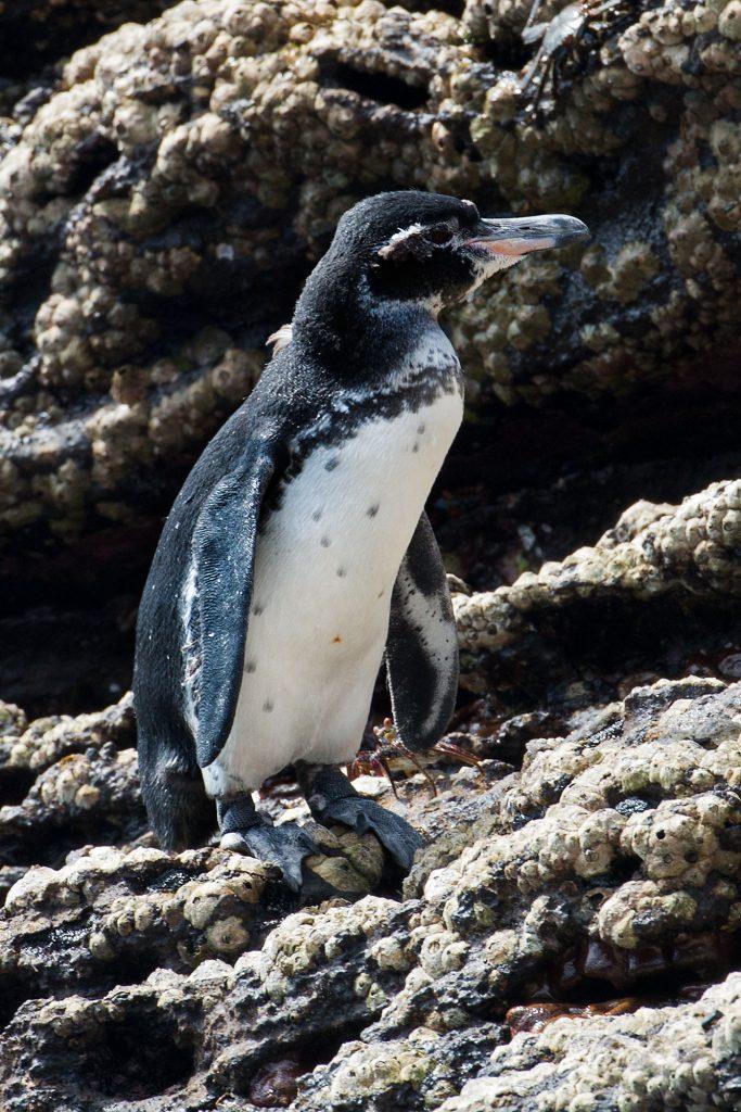Galapagos Islands Penguin, Pinguin
