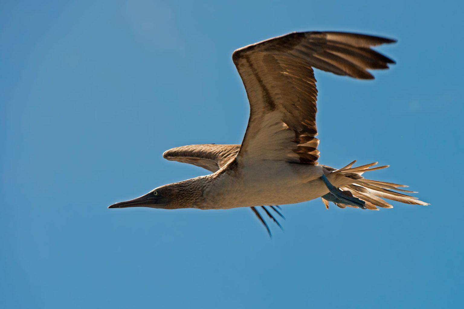 Galapagos Islands Seabird, Wasservogel